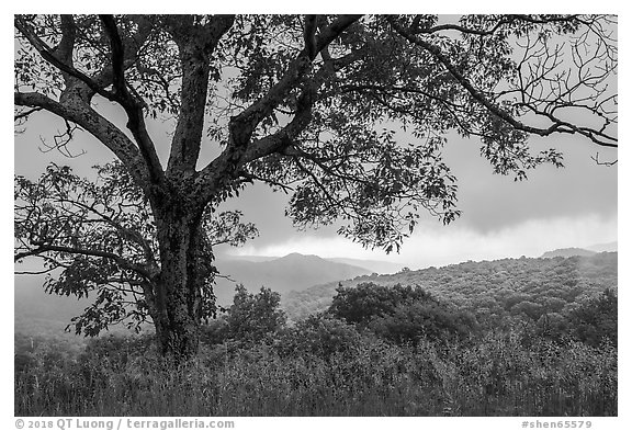 Tree and approaching storm in the spring. Shenandoah National Park (black and white)