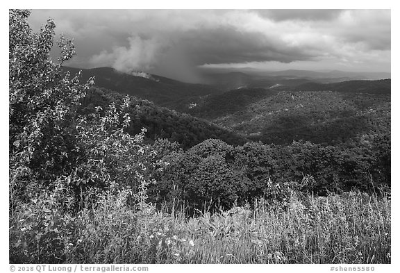 Wildflowers and hills from Duck Hollow Overlook. Shenandoah National Park (black and white)