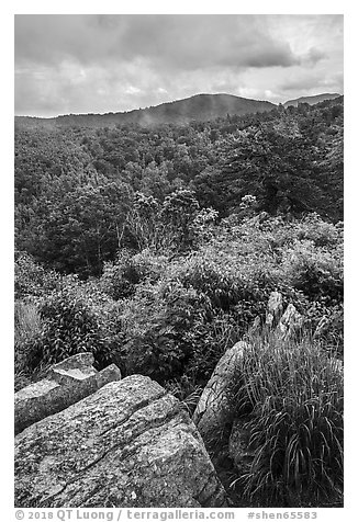 Rocks, blooms, and hills, Hazel Mountain Overlook. Shenandoah National Park (black and white)