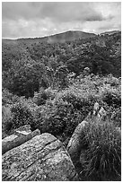 Rocks, blooms, and hills, Hazel Mountain Overlook. Shenandoah National Park ( black and white)