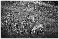 Deer near Big Meadows. Shenandoah National Park ( black and white)