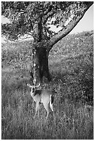 Deer and tree near Big Meadows. Shenandoah National Park ( black and white)