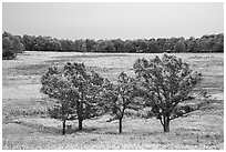 Trees in Big Meadows. Shenandoah National Park ( black and white)