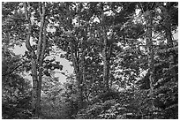 Forest at sunset, Whiteoak Canyon. Shenandoah National Park ( black and white)