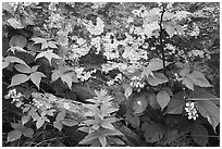 Flowers and lichen-covered rock. Shenandoah National Park ( black and white)