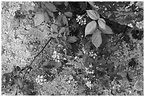 Close-up of flowers and lichen-covered rock. Shenandoah National Park ( black and white)