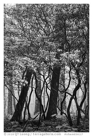 Mountain Laurel and twisted trunks in fog. Shenandoah National Park (black and white)