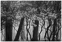 Mountain Laurel, forest and fog, Lewis Mountain Campground. Shenandoah National Park ( black and white)
