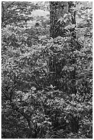 Mountain Laurel and trunk. Shenandoah National Park ( black and white)