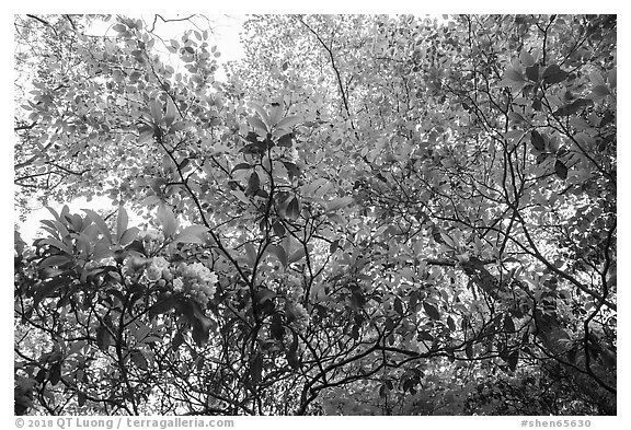 Looking up Mountain Laurel. Shenandoah National Park (black and white)