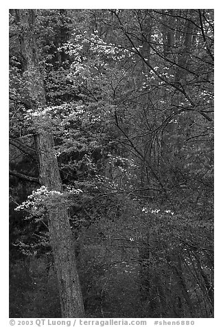 Redbud and Dogwood in bloom near the North Entrance, evening. Shenandoah National Park (black and white)