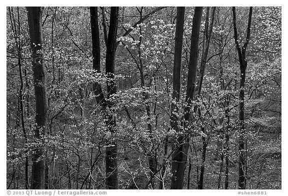 Redbud and Dogwood in bloom near the Northern Entrance, evening. Shenandoah National Park (black and white)