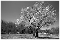Tree in bloom, Big Meadow, mid-day. Shenandoah National Park, Virginia, USA. (black and white)