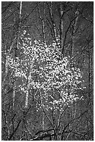 Tree blossoming  amidst bare trees. Shenandoah National Park ( black and white)