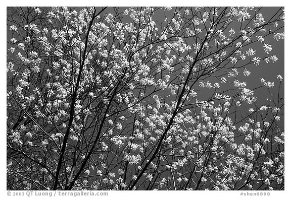 Tree branches covered with blossoms. Shenandoah National Park (black and white)