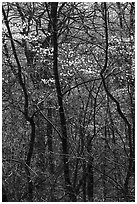 Twisted trunks and dogwood trees in forest. Shenandoah National Park, Virginia, USA. (black and white)