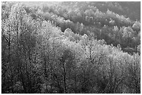 Trees in the spring, late afternoon, Hensley Hollow. Shenandoah National Park ( black and white)