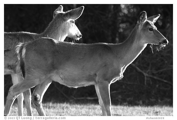 Whitetail Deers, early morning. Shenandoah National Park (black and white)