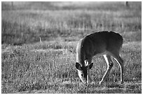 Whitetail Deer grazing in Big Meadows, early morning. Shenandoah National Park ( black and white)