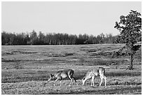 Whitetail Deer in Big Meadows, early morning. Shenandoah National Park, Virginia, USA. (black and white)