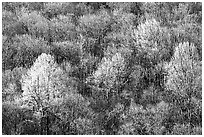 Trees with early foliage amongst bare trees on a hillside, morning. Shenandoah National Park, Virginia, USA. (black and white)