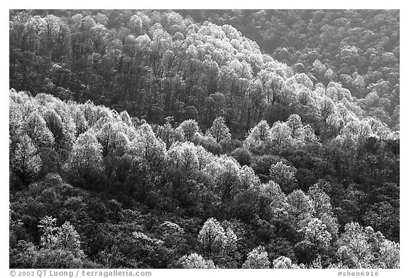 Backlit trees on hillside in spring, morning. Shenandoah National Park (black and white)