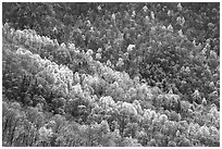 Backlit trees on hillside in spring, morning. Shenandoah National Park ( black and white)