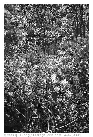 Pink and white summer wildflowers. Shenandoah National Park (black and white)