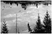 Beaver pond reflections and conifers. Voyageurs National Park, Minnesota, USA. (black and white)