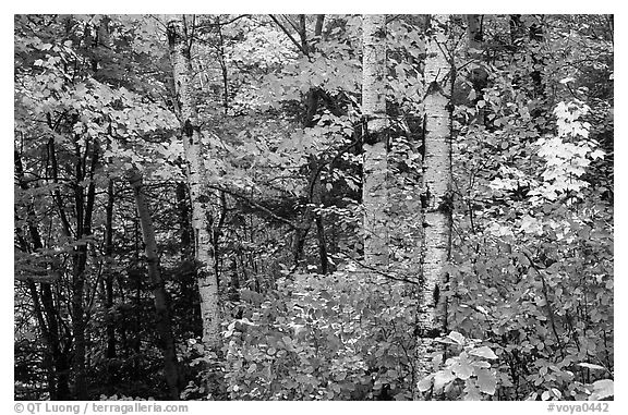 Trees in fall foliage. Voyageurs National Park (black and white)