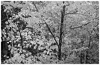 Trees in autumn foliage. Voyageurs National Park, Minnesota, USA. (black and white)