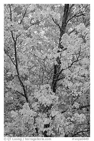 Trees in autumn color. Voyageurs National Park (black and white)