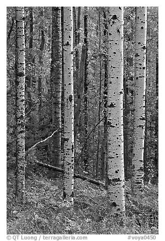 Birch tree trunks in autumn. Voyageurs National Park (black and white)