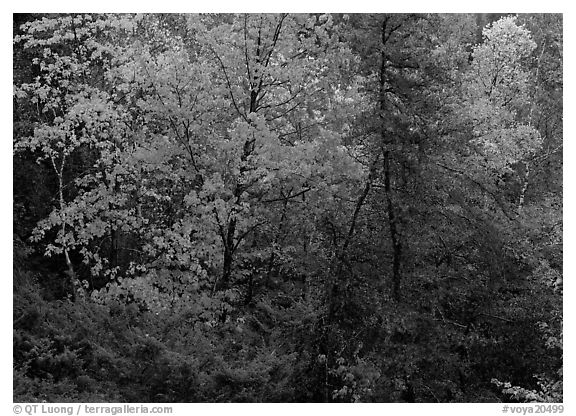 Trees with fall foliage. Voyageurs National Park (black and white)