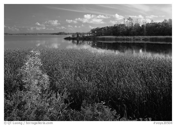 Aquatic grasses and lake, Black Bay. Voyageurs National Park (black and white)