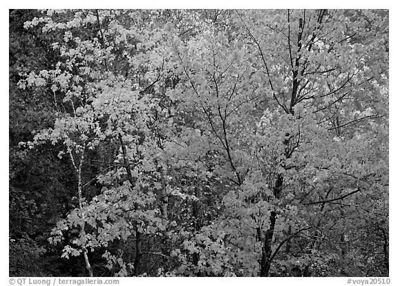 Yellow and orange trees. Voyageurs National Park (black and white)