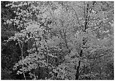 Yellow and orange leaves on trees. Voyageurs National Park ( black and white)