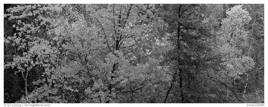 Mixed tree forest in the fall. Voyageurs National Park (black and white)