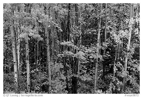 Mixed forest in autumn. Voyageurs National Park (black and white)