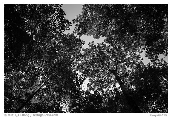 Looking up summer trees. Voyageurs National Park (black and white)