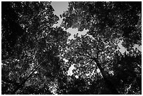 Looking up summer trees. Voyageurs National Park ( black and white)