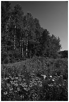 Summer wildflowers and trees, Ash River. Voyageurs National Park ( black and white)