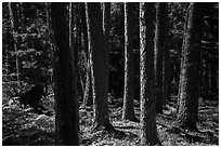 Tree trunks, Blind Ash Bay Trail. Voyageurs National Park ( black and white)