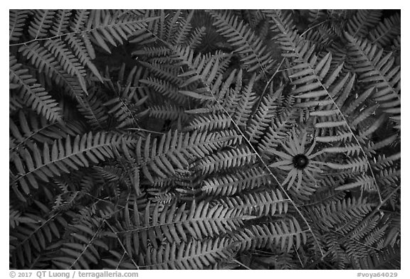Close-up of sunflower and ferns. Voyageurs National Park (black and white)