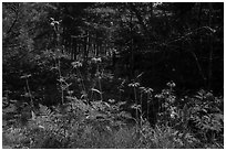 Sunflowers in forest. Voyageurs National Park ( black and white)