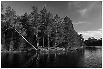 Lakeshore and falling tree, Grassy Bay. Voyageurs National Park ( black and white)