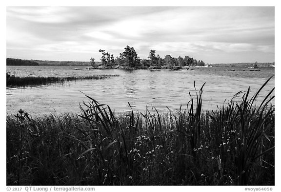 Wildflowers, and islet, Houseboat Island, Sand Point Lake. Voyageurs National Park (black and white)