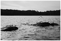 Seagulls on rocks, Namakan Lake. Voyageurs National Park ( black and white)