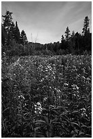 Meadow with summer wildflowers. Voyageurs National Park ( black and white)