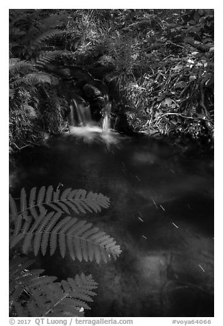 Ferns and cascade. Voyageurs National Park (black and white)